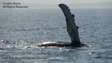 A whale saying hi to the tourists in Nova Scotia.