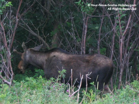 A moose sighting while cycling the Cabot Trail in the Cape Breton Highlands National Park in Cape Breton
