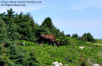 You might get lucky and see a moose while hiking in Cape Breton.