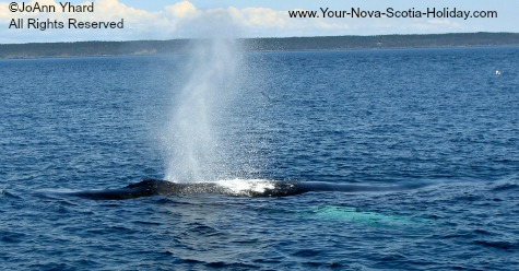 Whale watching in Nova Scotia, Canada