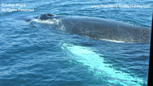 A mother whale and her calf off the coast of Nova Scotia.