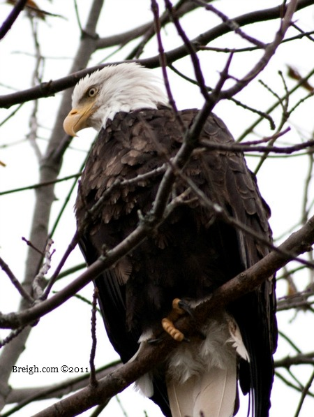 The Bald Eagle watches over all visitors to Cape Breton!