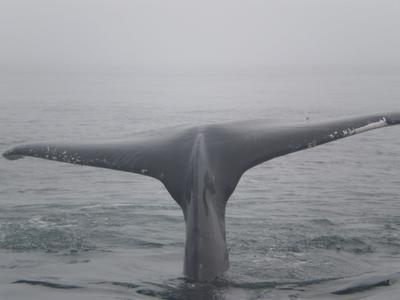 Whale watching in the fog in Nova Scotia.