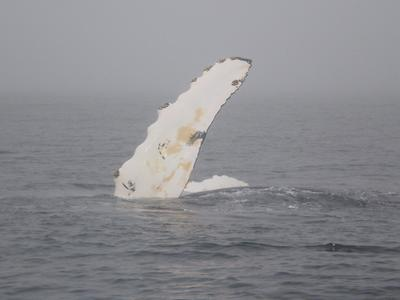 We were able to identify this whale as being