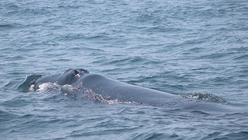 Our right whale from the Bay of Fundy studying us!