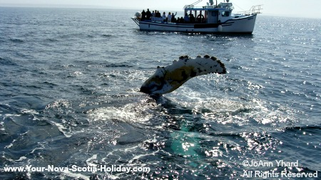 A whale watching boat can get very close to the whales!