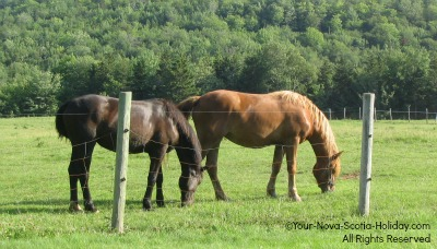 Horses grazing in the Margaree Valley