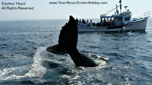 Whale Watching in the Bay of Fundy, Nova Scotia.