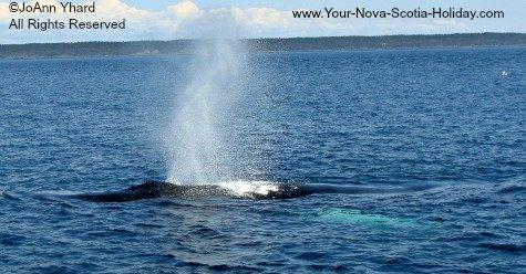 Whale watching in Nova Scotia, Canada