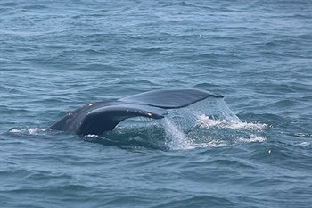 Right Whale on the Bay of Fundy